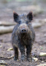 WIld Boar Rural Images A5 Card
