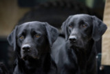 Black Labradors 2 Rural Images A5 Card