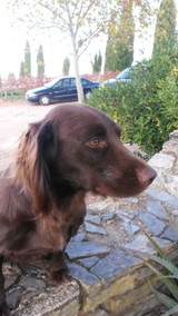 In case you thought all labels fictional here is proof to the contrary. His name is Pingo, he is a cocker spaniel and lives at Joao Ramos's house in the Alentejo. The tale goes that while out walking Joao was musing on where to plant some Syrah when he noticed Pingo digging vigorously and turning up deep red, iron rich soil, perfect for this grape. Hence the vineyard site was discovered and a new wine created. Well, if you believe that you'll believe anything! Still Pingo, The Smart Dog, exists and here he is.