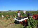 Beaujolais nouveau 2014 Harvest Report