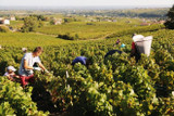 2018 Beaujolais Harvest Update