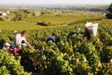 2018 Beaujolais Harvest Update