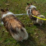 2 Dogs on 1 Leash - CRAZYcoupl'r