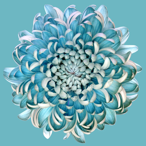 Blue Chrysanth Square