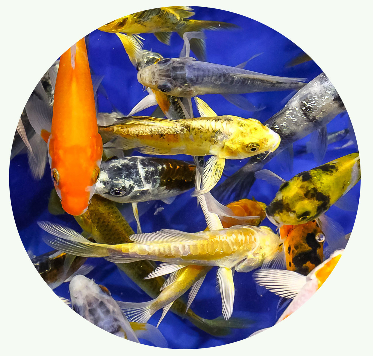 Koi For Sale Free Shipping At Thepondhub Com