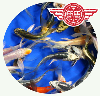 4-5 inch Butterfly Koi Standard Grade Ship for FREE!