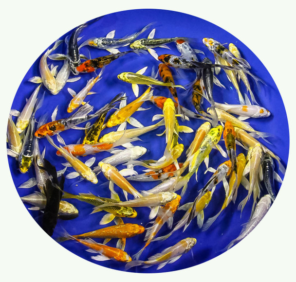 3-4 inch Butterfly Koi Premium Grade Ship for FREE!