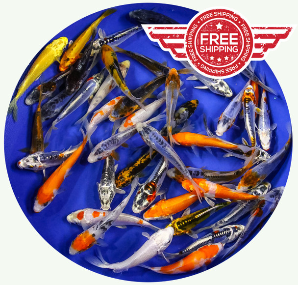 4-5 inch Regular Koi Standard Grade Ship for FREE!