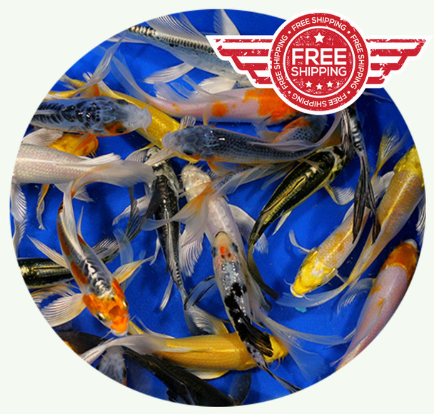 4-5 inch Butterfly Koi Premium Grade Ship for FREE!