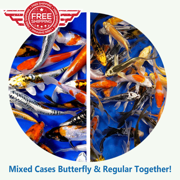 Mixed cases of Butterfly and Regular Fin Koi Premium Grade Ship for Free!