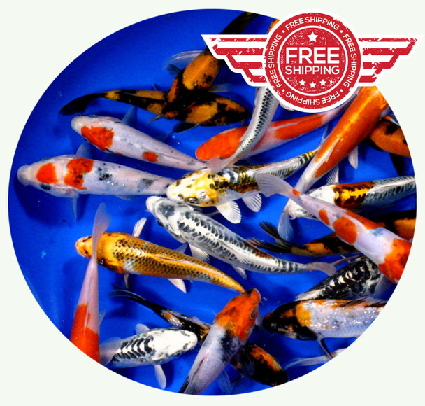 6 to 8 inch Premium grade Regular Koi on sale with Free Shipping!