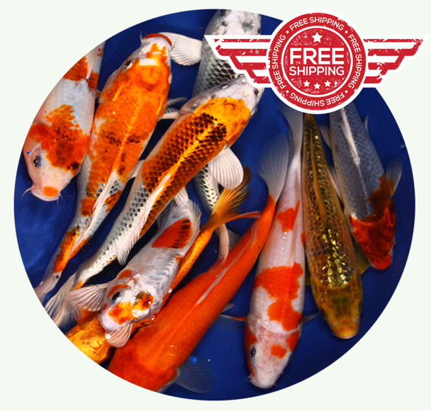 8 to 10 inch Standard grade Regular Koi on Sale with FREE Shipping!