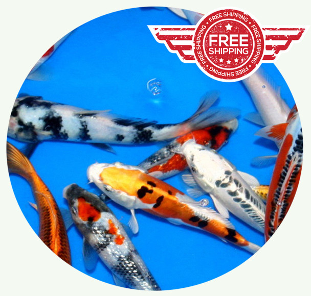 8 to 10 inch Premium grade Butterfly Koi on sale with FREE Shipping!