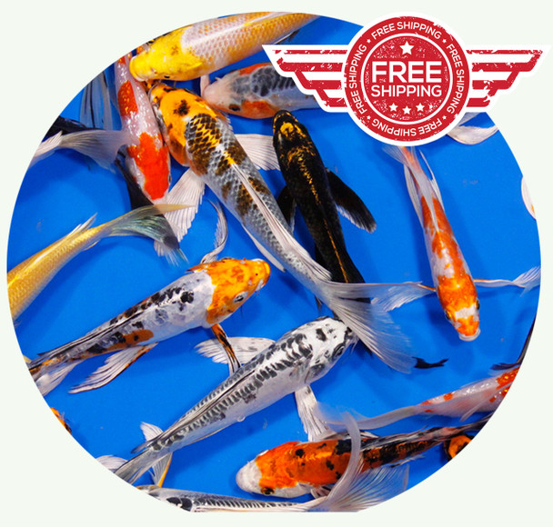 8 to 10 inch Premium grade Regular Koi on sale with FREE Shipping!
