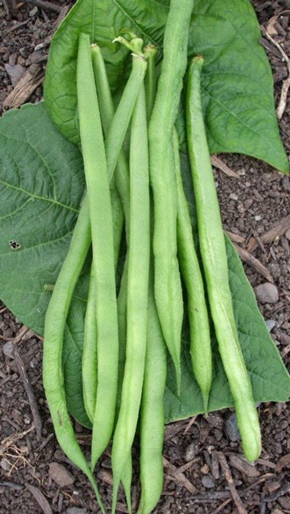 Organic Beans (french Dwarf) Aiguillon - Gardener's Packet (60 seeds)