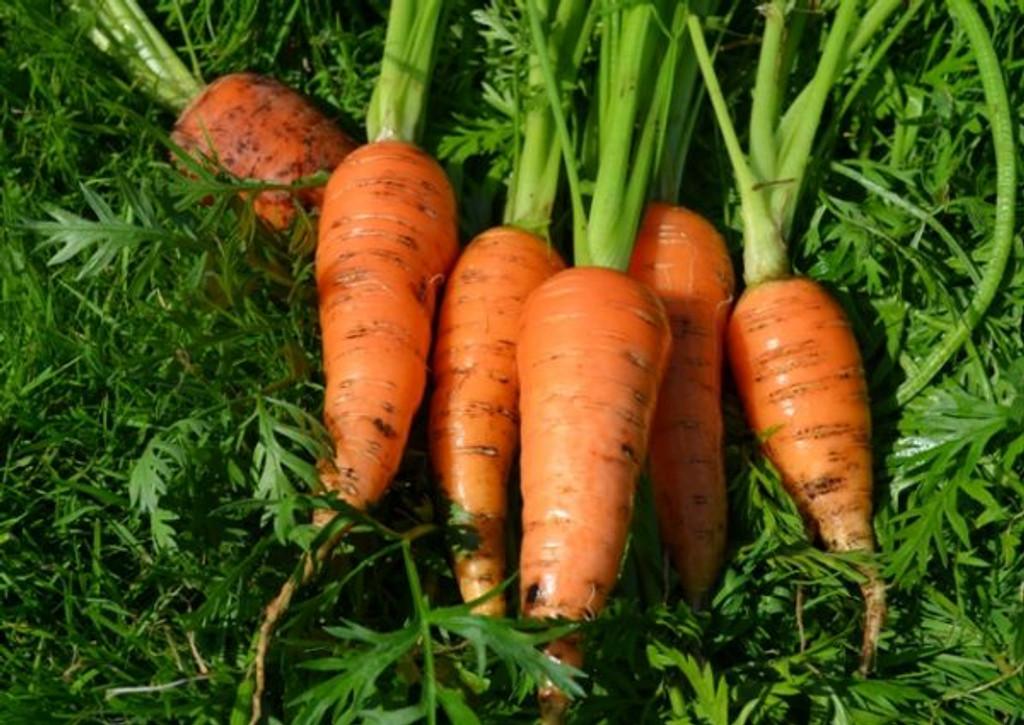 Organic Carrot Bambino - Gardener's Packet (800 Seeds)