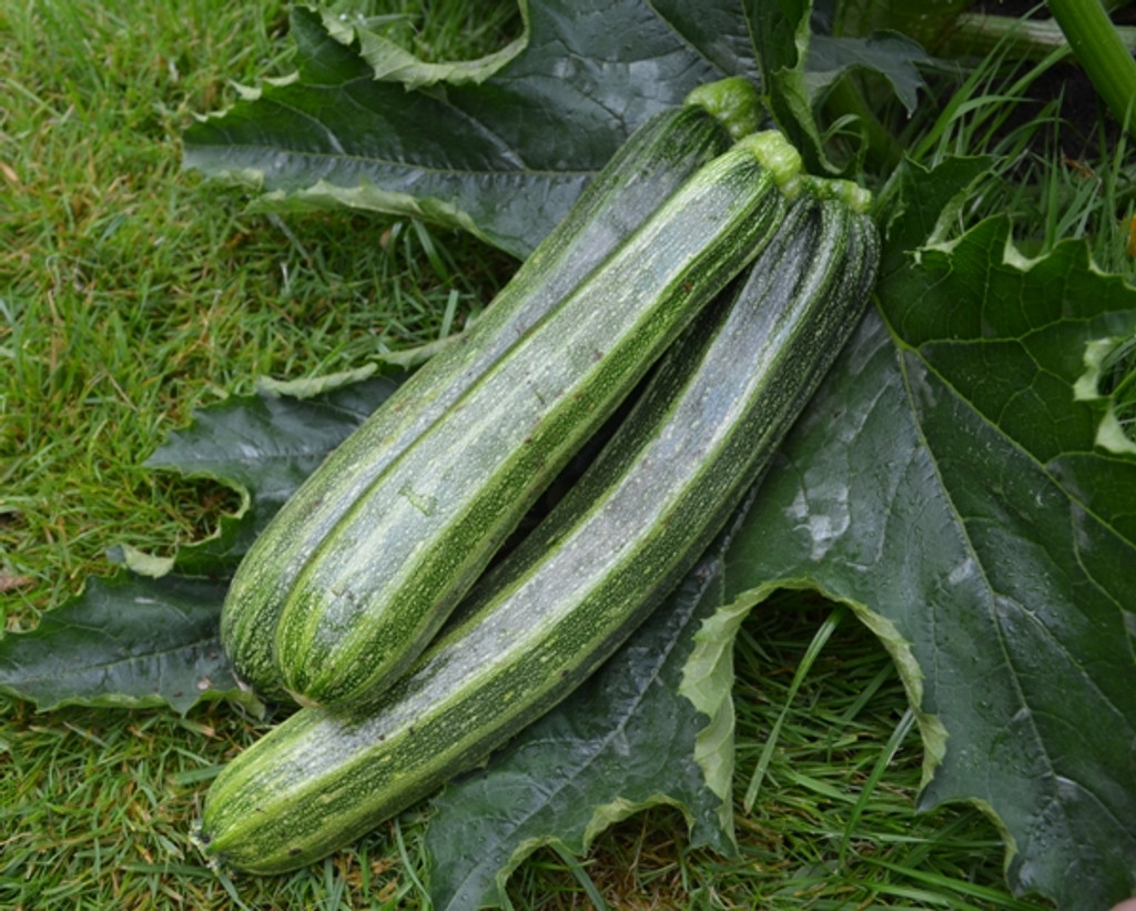 Organic Courgette Cocozelle - Gardener's Packet (10 Seeds)