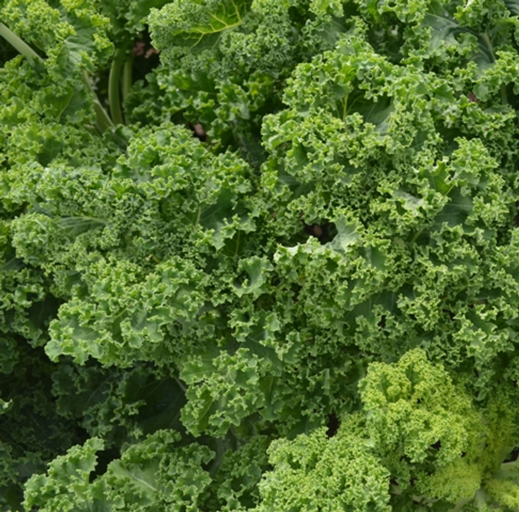 Organic Kale Westland Winter - Gardener's Packet (50 Seeds)