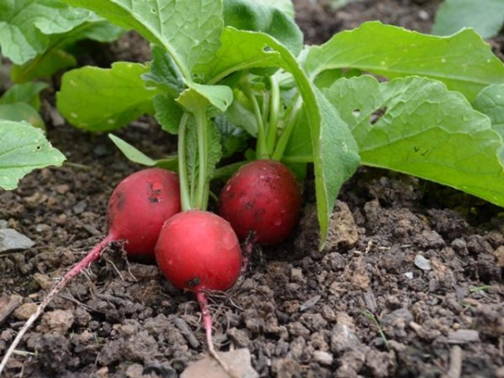 Organic Radish Rudi - Gardener's Packet (400 Seeds)