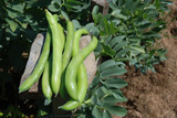 Organic Beans (broad) Super Aquadulce - Gardener's Packet (35 seeds)