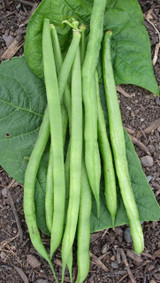 Organic Beans (french Dwarf) Aiguillon - Gardener's Packet (60 seeds)