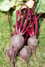 Organic Beetroot Boro F1 - Gardener's Packet (200 seeds)