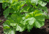 Organic Celery Leaf Early Bell (a) - Gardener's Packet (500 Seeds)