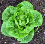 Organic Lettuce Cos Little Gem - Gardener's Packet (700 Seeds)