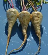 Organic Parsnip Halblange White - Gardener's Packet (500 Seeds)
