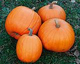 Organic Squash Jack O Lantern - Gardener's Packet (10 Seeds)
