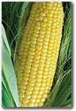 Organic Sweet Corn True Gold - Gardener's Packet (50 Seeds)