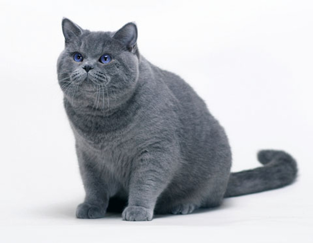 BRITISH SHORTHAIR 'PEARLESCENT' WORSTED