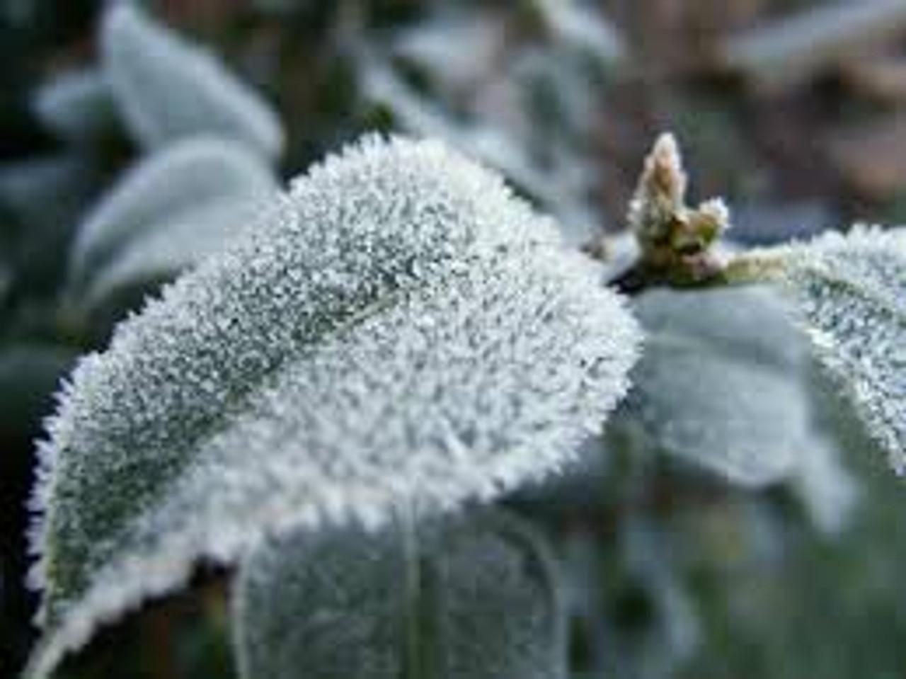 Blue Ridge Frost