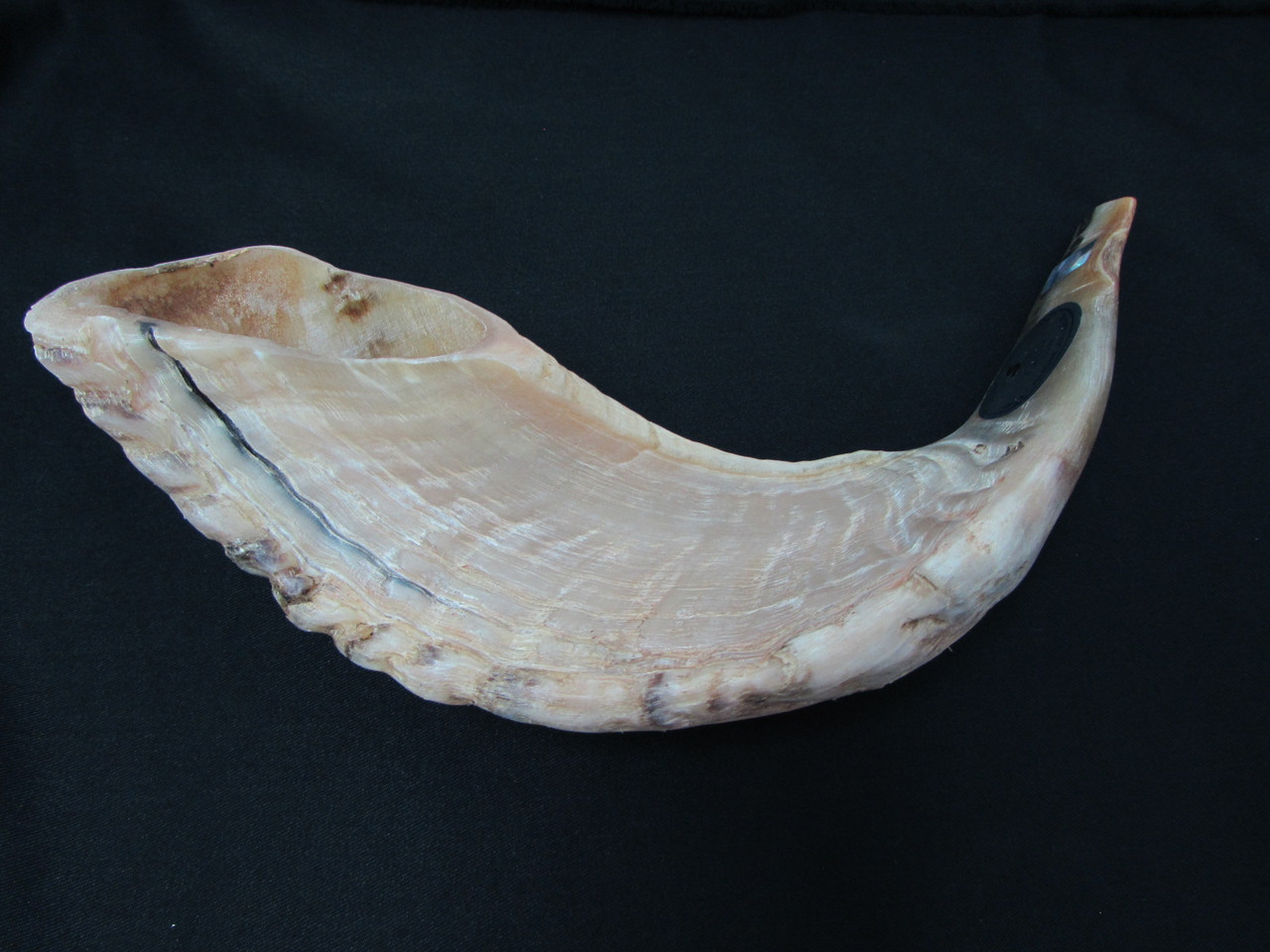 41 cm Light Brown Ram's Horn Shofar