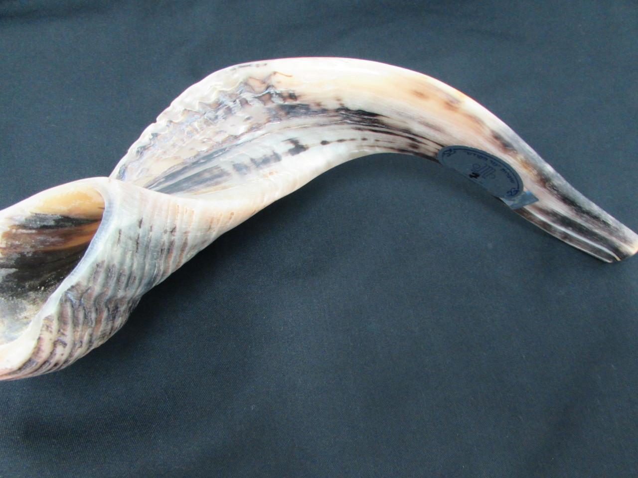 49 cm Dark Ram's Horn Shofar