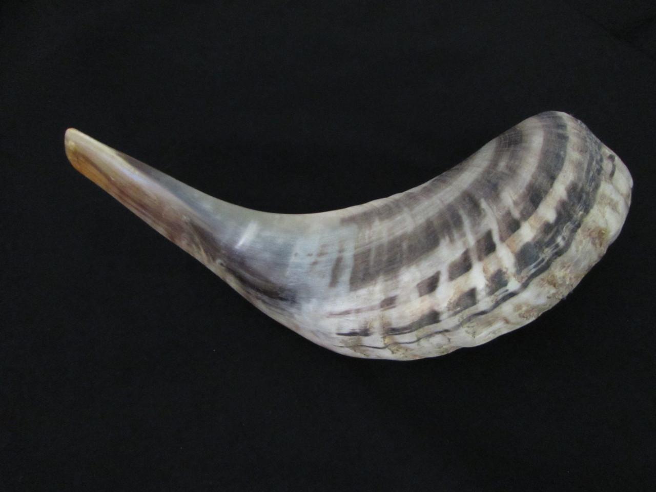34 cm Tan Ram's Horn Shofar