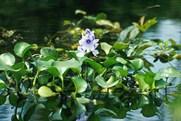 water-hyacinth.jpg