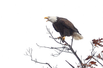 2-Hour Bald Eagle Tour