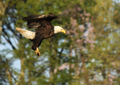 3-Hour Bald Eagle Tour