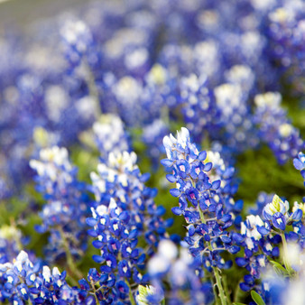 Fun fact: Texasactually has fivestate flowers, more or less, and they are allbluebonnets!