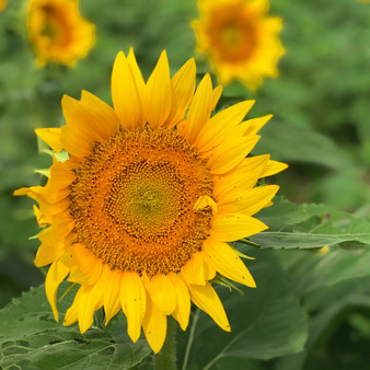 <p>Kansa is known for their beautiful fields of sunflowers! <p><p>Click &lsquo;Choose a Product&rsquo; above to get this image hand printed on a ceramic 4x4 custom coaster, cutting board, magnet, ceramic trivet, ornament, dog tag or canvas.</p>