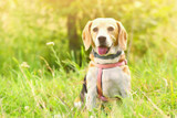 A Happy Heart for a Happy Dog: Creating a Heart-Friendly Diet Using the Five Element Theory