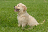 How To Ensure Your Golden Retriever Will Live A Longer, Happier Life