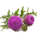 milk-thistle.png