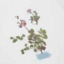 Appree Astragalus sinicus pressed flower sticker