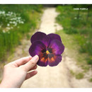 Purple - ABJECTION Pansy flower card and envelope set ver2