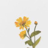 Detail of Appree Calendula press flower deco sticker