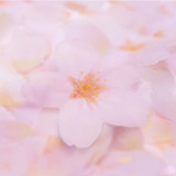 Cherry blossom transparent sticky memo notes Small