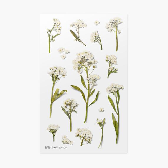 Sweet alyssum press flower deco sticker