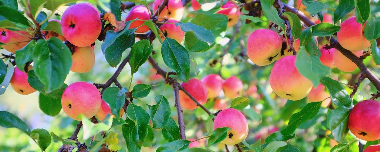 Rosemira Ingredients - Apple Pectin